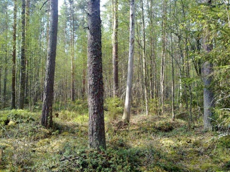 Keijunmetsä-Anneli-Jussila-2011-04