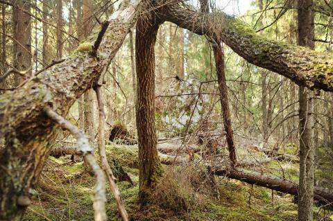 Luonnonperintösäätiön suojelualue Ahmauksenkorpi