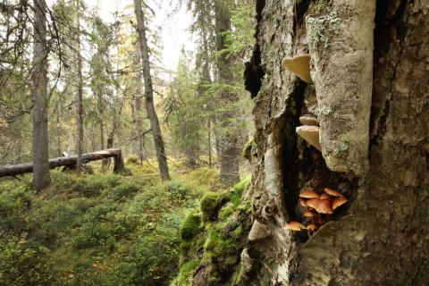 Sysikääpiä ja koivunkantosieniä kasvaa vanhan koivun kyljestä Itänkankaan korpiosalla.