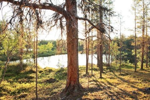 Kuva Tsiuttajoen ikimetsästä Ari-Pekka Auvinen