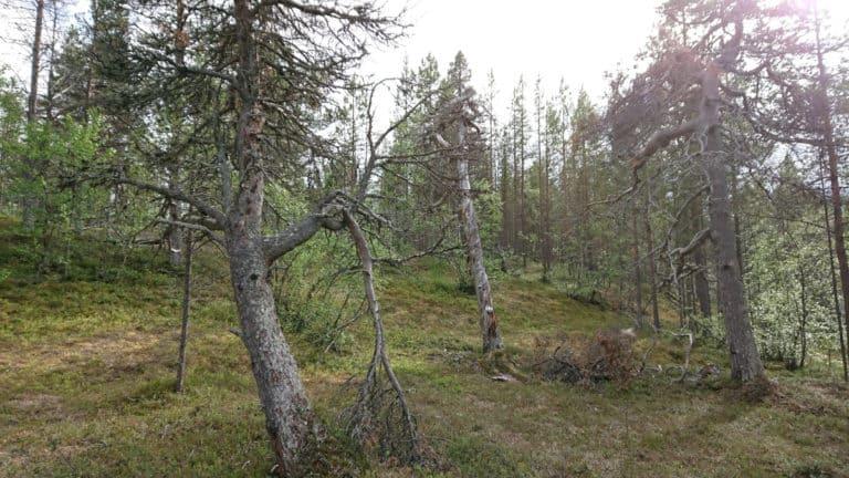 Luonnonperintösäätiö Kuusajooggaz Luonnonsuojelualue