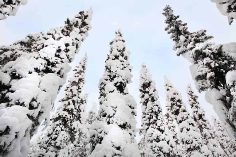 Pohjolanvaaran kuusia lumitalvena 2018.