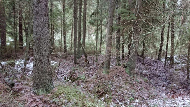 Suden metsä, Kirnukorpi. Kuvaaja: Anneli Jussila